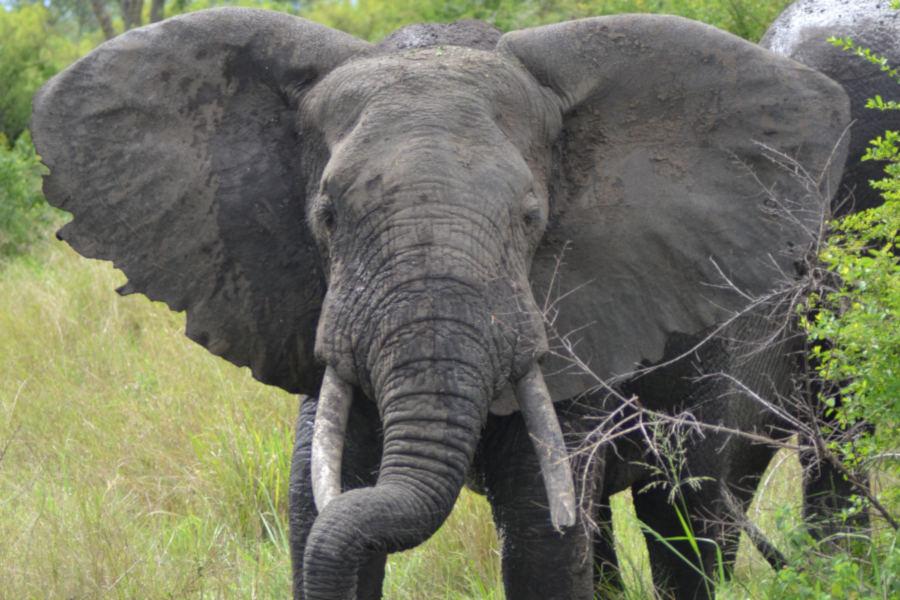 Elephant Ishasha